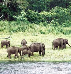 wild elephants and other wildlife in Periyar National Park Image